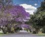 Grafton, czyli bajkowa kraina kwitnących jacarand