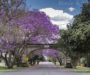 Grafton, the magical place of blooming jacarandas